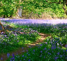 bluebell forest by milena boeva
