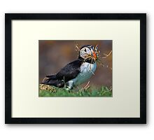 Making a puffin pad Framed Print