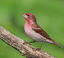 Purple Finch - a first for me! by Daniel Cadieux