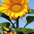 "Windblown - Sunflower sporting that ""windblown"" look by Betty Northcutt"