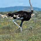 Male Ostrich Running by KAREN SCHMIDT