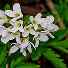 Cutleaf Toothwort - Dentaria laciniata by jules572