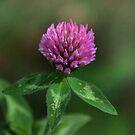 Red Clover - Trifolium pratense by jules572