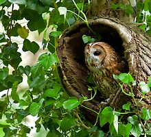 Tawny Owl sitting in old tree by Dave  Knowles