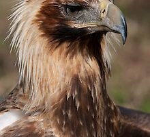 Wedge Tail Eagle by Alan  McIntosh