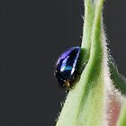 Steelblue Ladybird - Halmus chalybeus  by Gabrielle  Lees