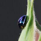 Steelblue Ladybird - Halmus chalybeus  by Gabrielle  Lees