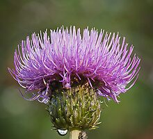 Thistle Flower by KWTImages