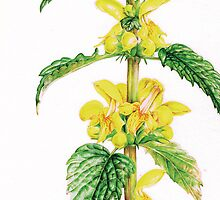 Yellow Archangel - Lamiastrum galeobdolon by Sarah Trett