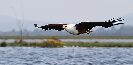 Africa Fish Eagle Swoops, Lake Naivasha, Kenya  by Carole-Anne