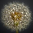 Single Dandelion in Sunshine by Presence