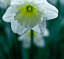 close Spring Daffodil  by apsjphotography