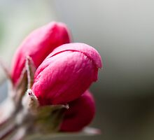 Crabapple Buds by Gary Chapple