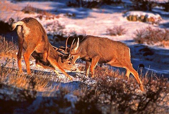 Pics Of Deer Fighting. FIGHTING MULE DEER BUCKS by