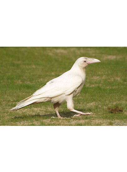 Dare To Be Different&quot; (Rare White Raven)&quot; Fine Art Print by Skye ...