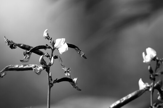 flowers pictures black and white. Sweet Pea Flower in Black