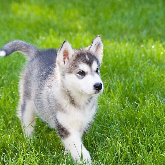 Alaskan Malamute Dogs Puppies