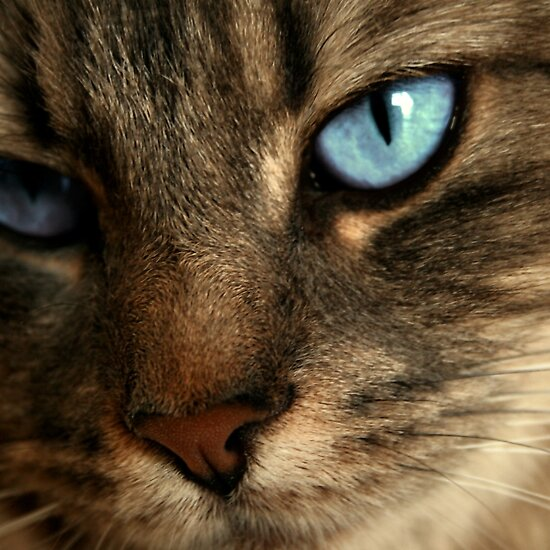 light brown cat with blue eyes