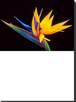 Mounted Print: Bird of Paradise