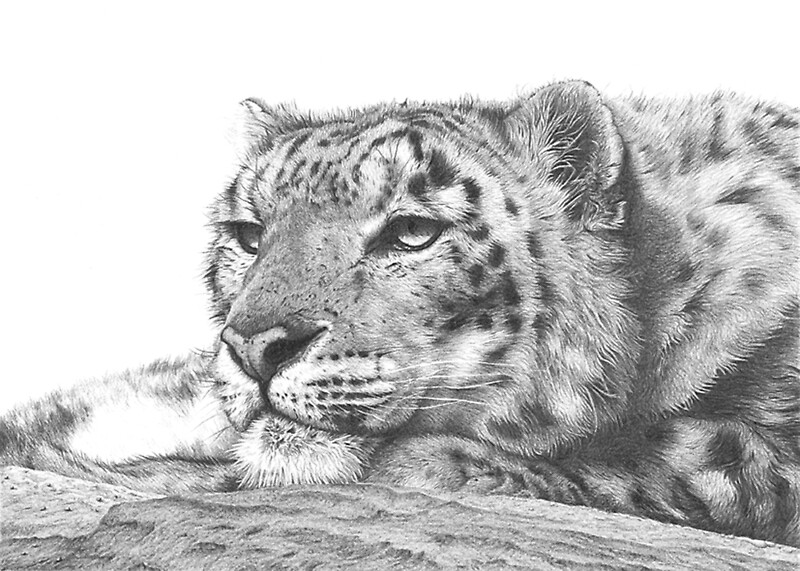 Snow Leopard by clive meredith