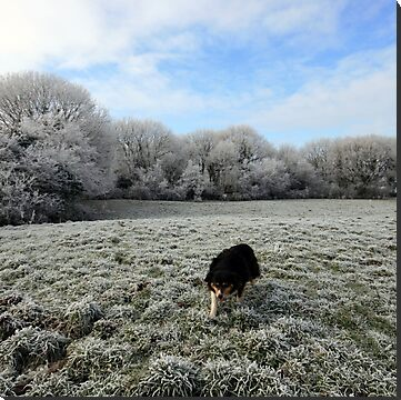 Beautiful Irish sheepdog Lassie on farm near Corofin village in county Clare