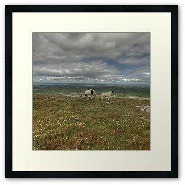 Two beautiful horses grazing at the summit of Slieve Carran in The Burren in county Clare