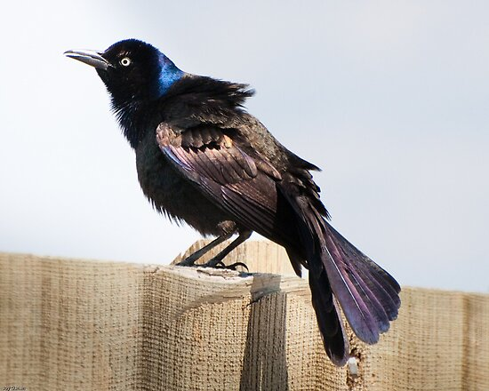 common grackle. Common Grackle (adult male)