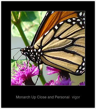 Monarch Up Close and Personal by vigor