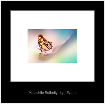 Malachite Butterfly by LynEvans