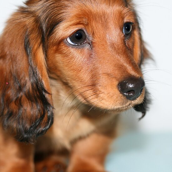 long haired dachshund pictures. Miniature long haired