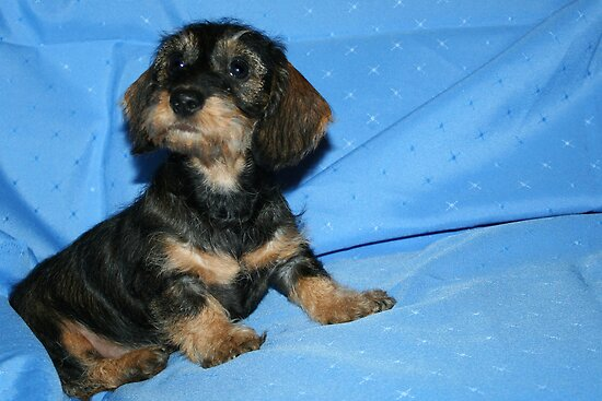 miniature long haired dachshund puppies. red long haired dachshund