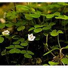 March's  Photograph - Wood Sorrel or Wood Shamrock