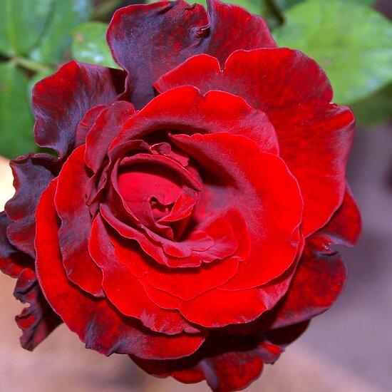 http://ih3.redbubble.net/work.6278200.4.flat,550x550,075,f.climbing-red-rose.jpg