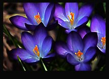 WON the &#39;Purple Flowering Bulbs&#39; challenge of group &#39;Flowering Bulbs &#39;