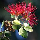 New growth: Kermadec Island Pohutukawa by tonyfoster