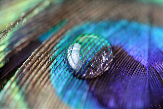 Peacock Feathers Quotes Blue Peacock Feather by