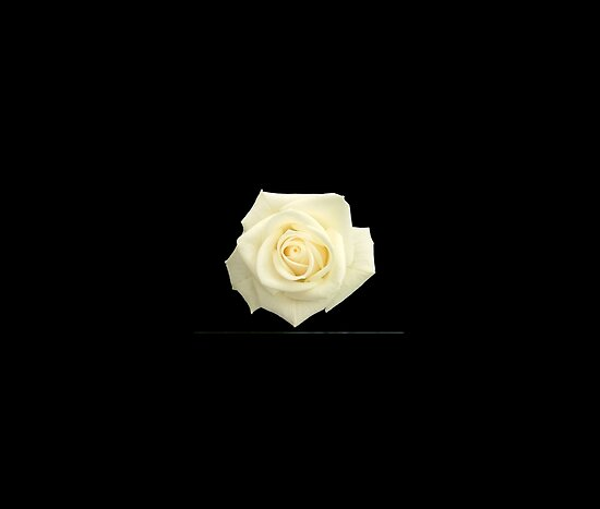 white rose wallpaper. black and white rose
