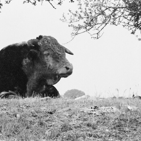 Find out more about Ferdinand the Bull @ Wikipedia. Available for sale as