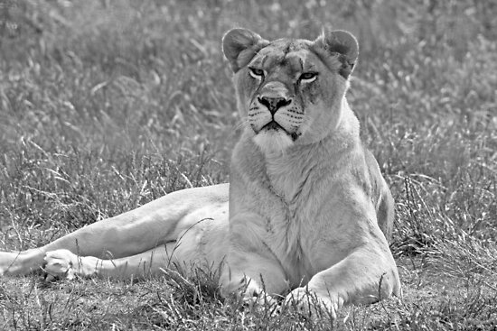 """""""Lioness in black and white"""" by liza scott   Redbubble"""