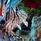 Lion Fish by Robert Iles