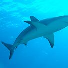 Shark 2 by Robert Iles