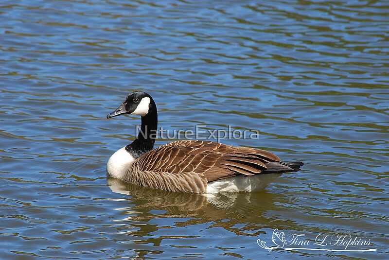 """Beautiful Blue Canada Goose"" By NatureExplora"