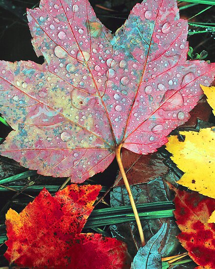 """""""RAINDROPS ON LEAVES"""" by Chuck Wickham   Redbubble"""