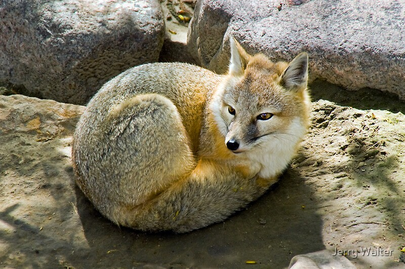 Quot Swift Fox Quot By Jerry Walter Redbubble